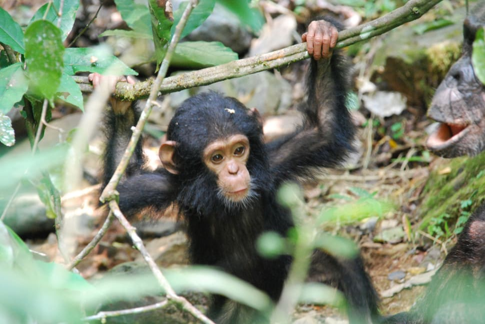 Chimpanzees in Gombe in Tanzania - Best Time