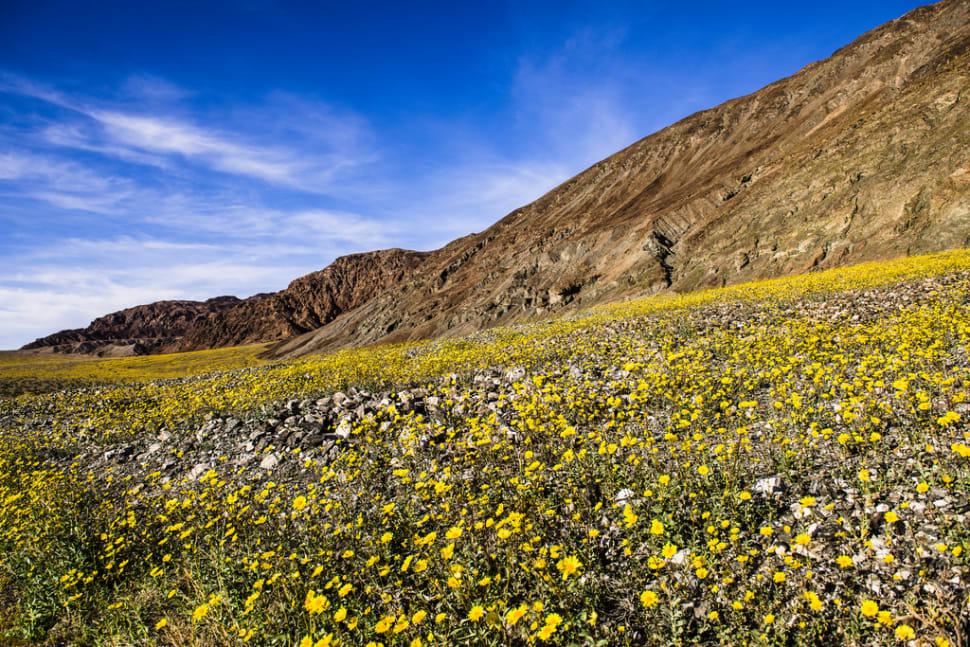 Death Valley Super Bloom in Death Valley - Best Time