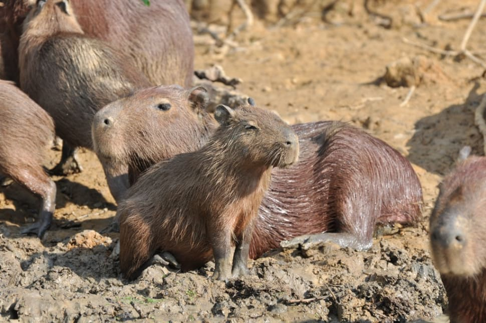 Capybara in Bolivia - Best Season
