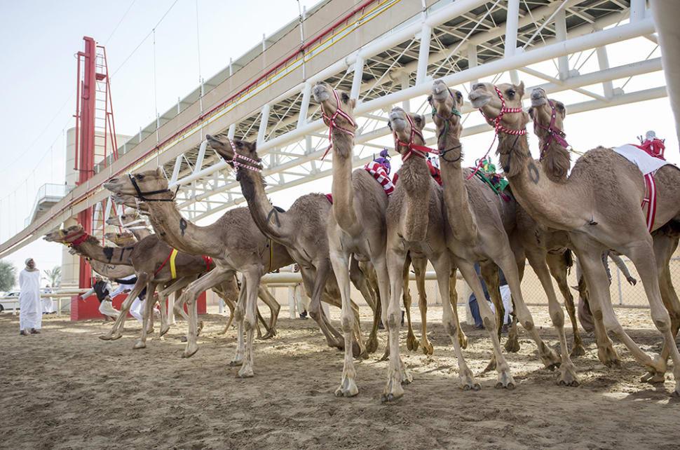 Camel Racing Season in Dubai - Best Season