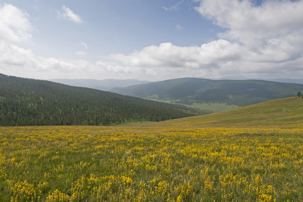 Wildflowers of Steppes in Mongolia - Best Season