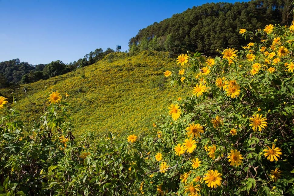 Mexican Sunflowers Bloom in Thailand - Best Season