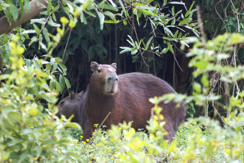 Capybara in Bolivia - Best Time