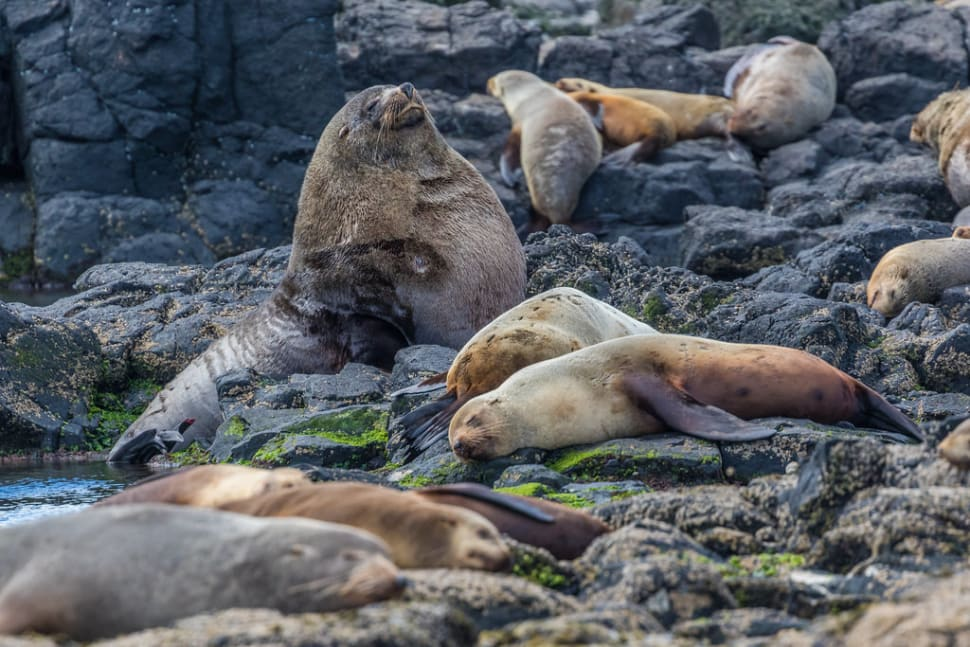 Fur Seal Breeding Season in Victoria - Best Time