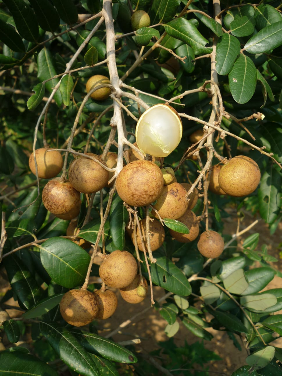 Longan Season in Thailand - Best Season
