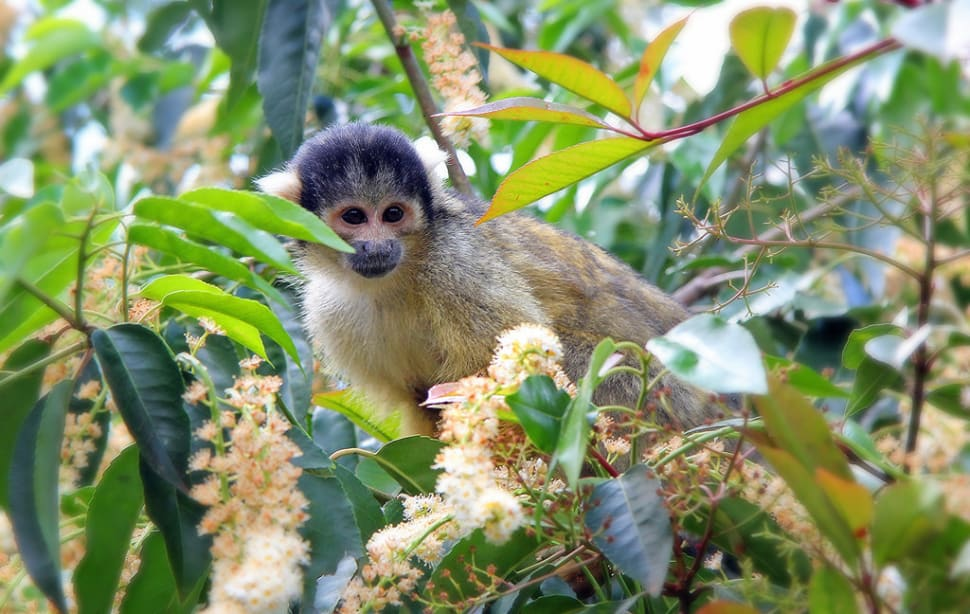 Squirrel Monkeys in Bolivia - Best Season