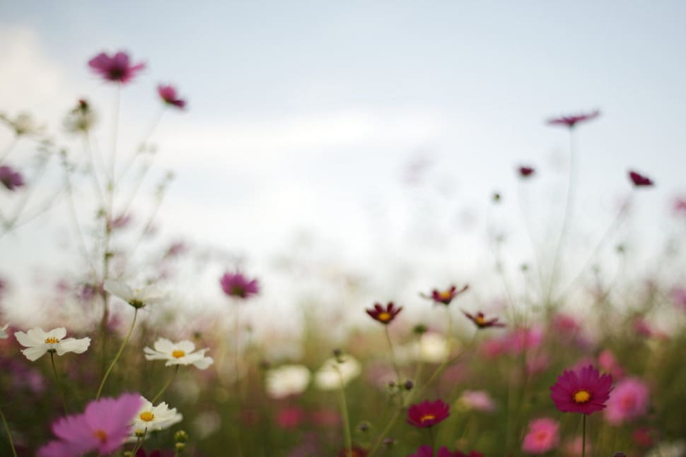 Thai Cosmos Bloom in Thailand - Best Time