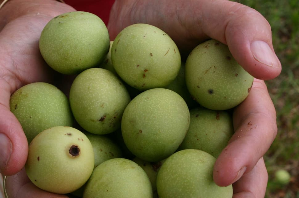 Marula Season in South Africa - Best Time