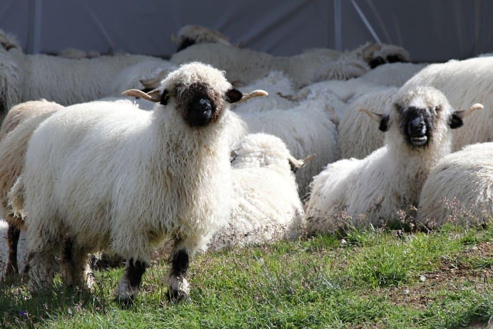 Valais Blacknose Sheep in Switzerland - Best Season
