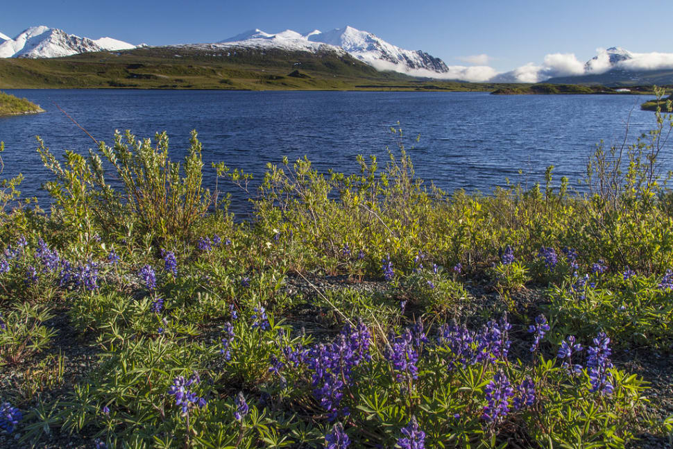 Arctic Lupine in Alaska