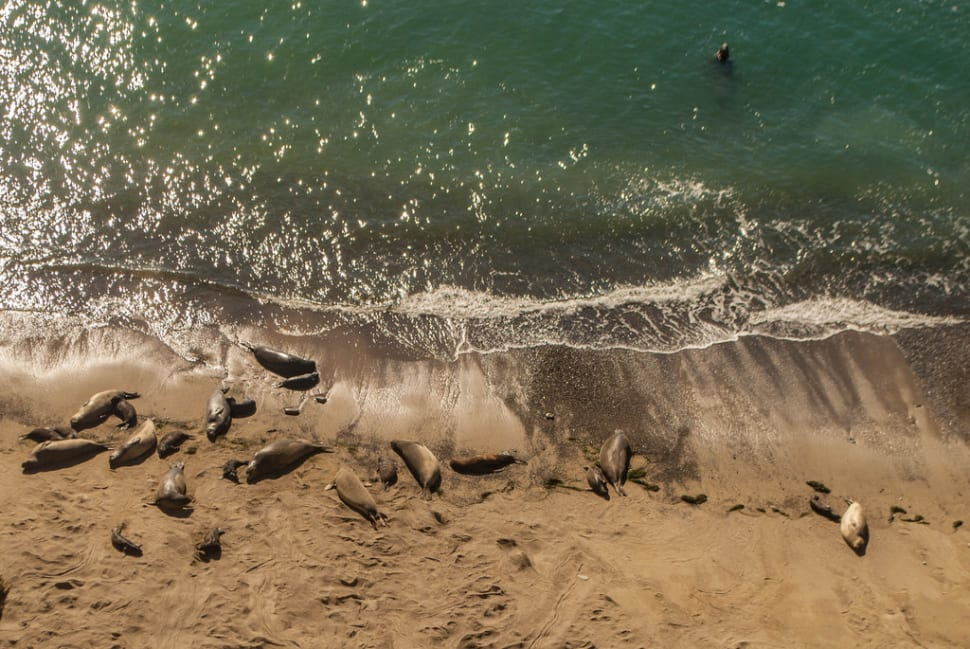 Things to do in California : Elephant Seals