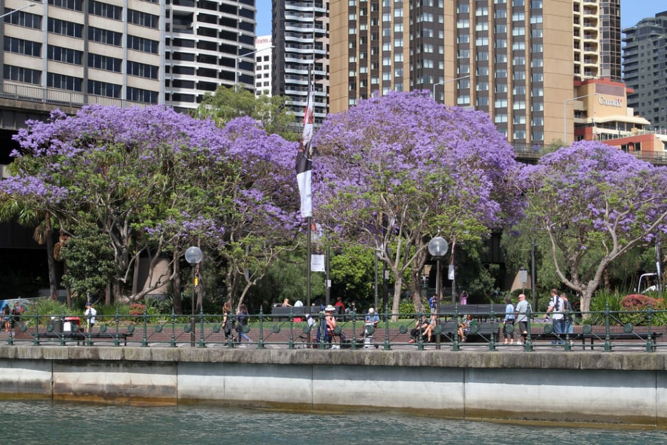 Best time for Jacaranda Trees in Bloom in Sydney