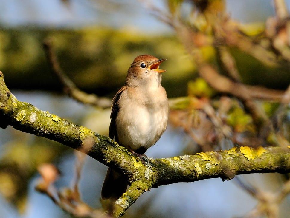 Nightingales in Cyprus - Best Time