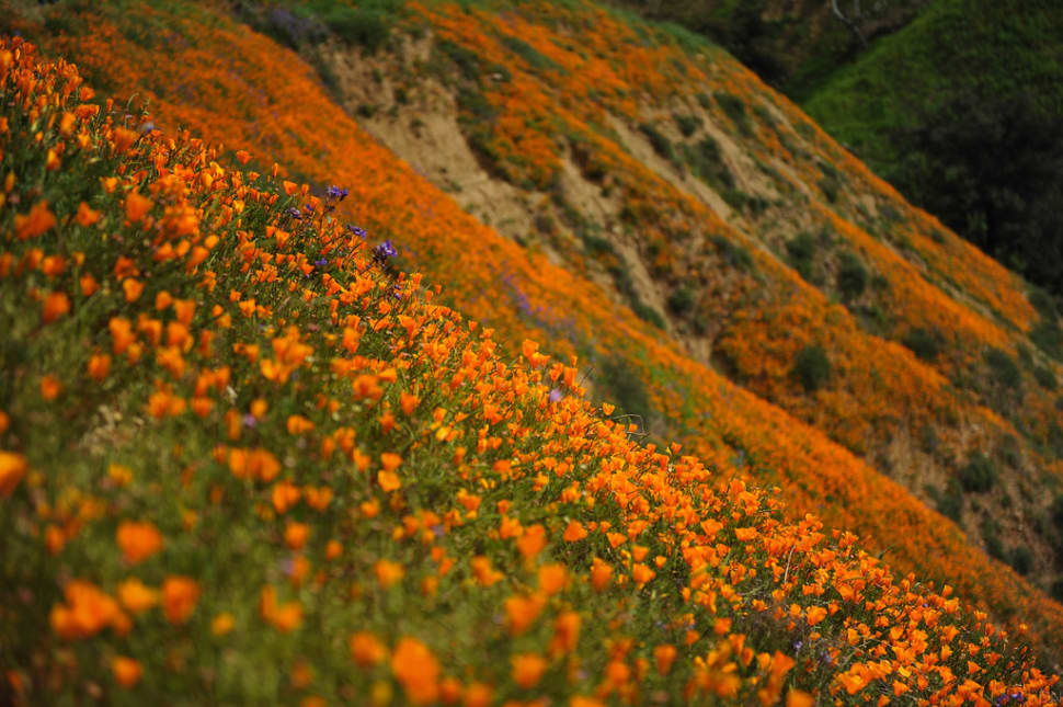 Best time for Poppy Bloom at Chino Hills State Park in Los Angeles