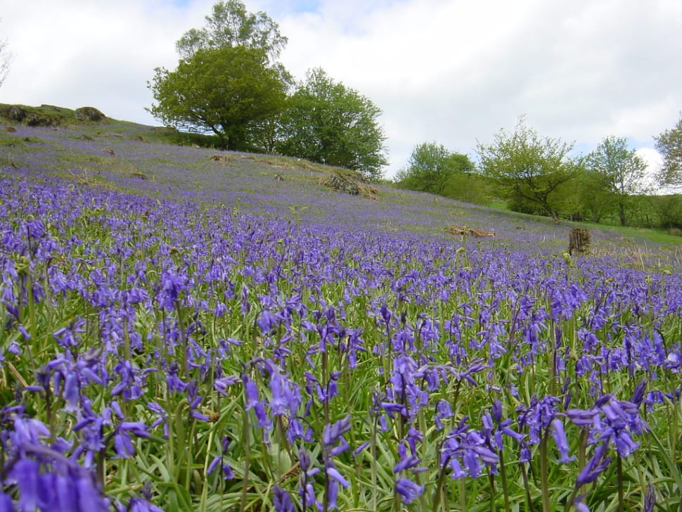 Bluebells in Bloom in Wales - Best Time