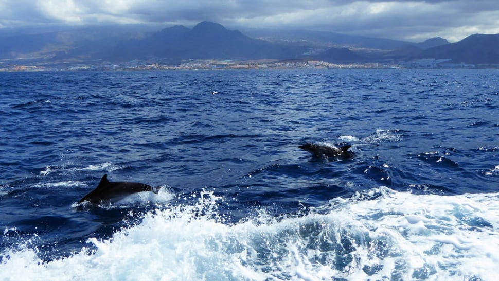 Whale and Dolphin Watching in Canary Islands - Best Season