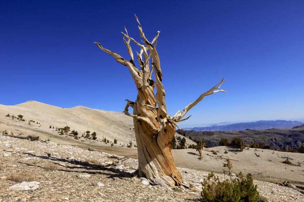 Bristlecone Pines in California - Best Time