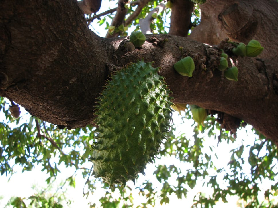 Soursop Season in Fiji - Best Time