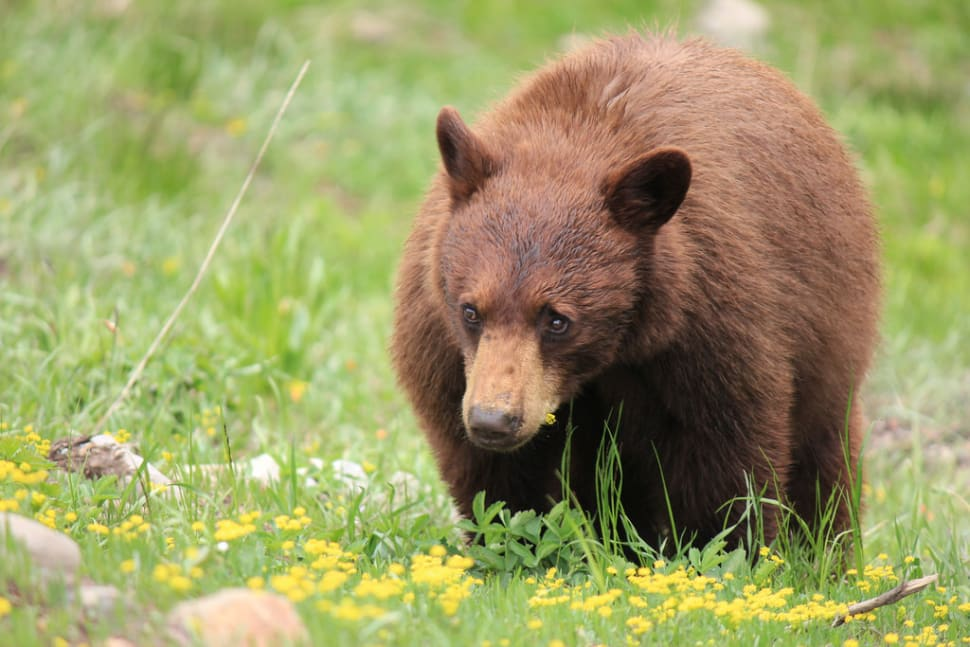 Grizzly Bears in Yellowstone National Park - Best Season