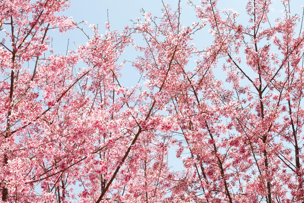 Cherry Blossom in Taiwan - Best Season