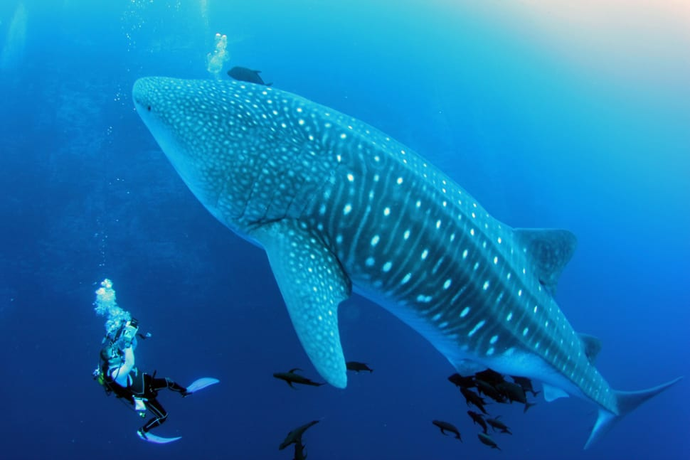 Swimming with Whale Sharks in Mexico - Best Time