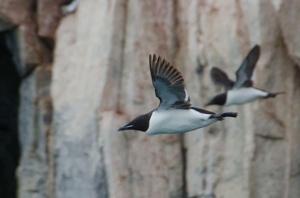Things to do in Svalbard : Brunnich's Guillemot Bird Bazaar