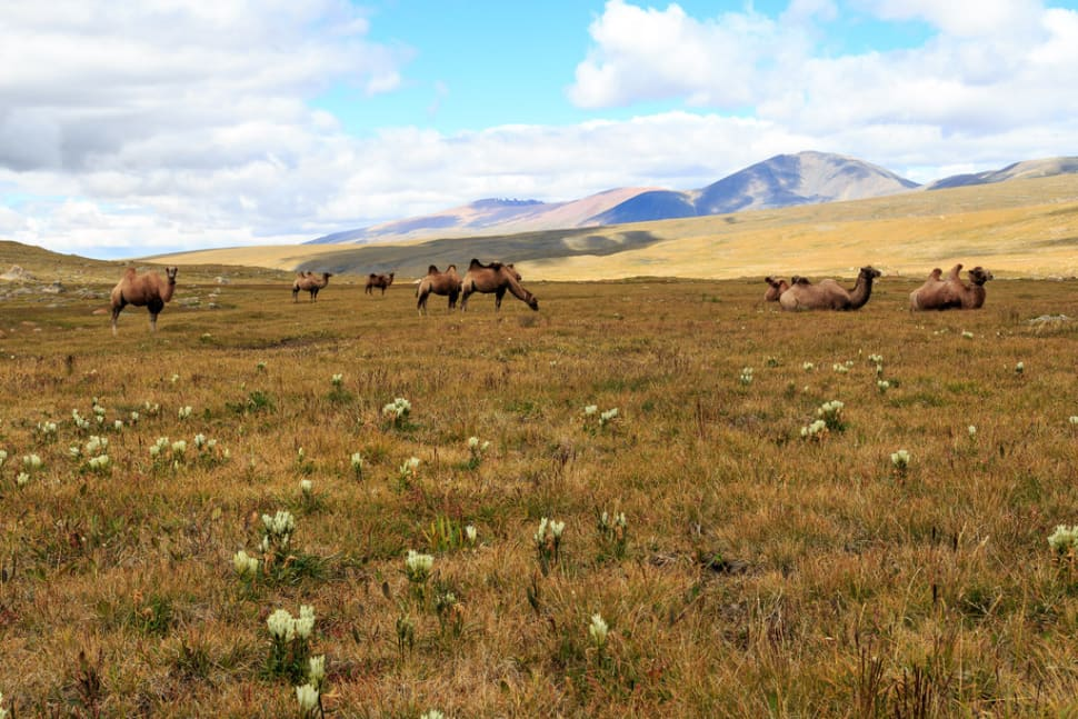 The camels enjoyed their day off with the lush grass in the valley