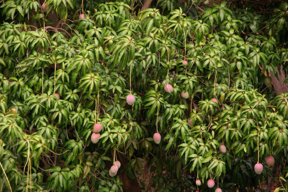 Mango Season in Cuba - Best Season