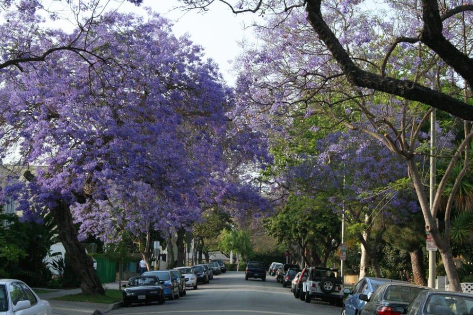 Jacarandas in Bloom in Los Angeles - Best Time