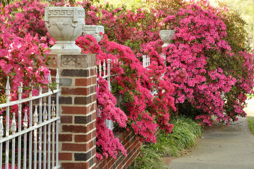 Azalea Bloom in Tyler in Texas - Best Time