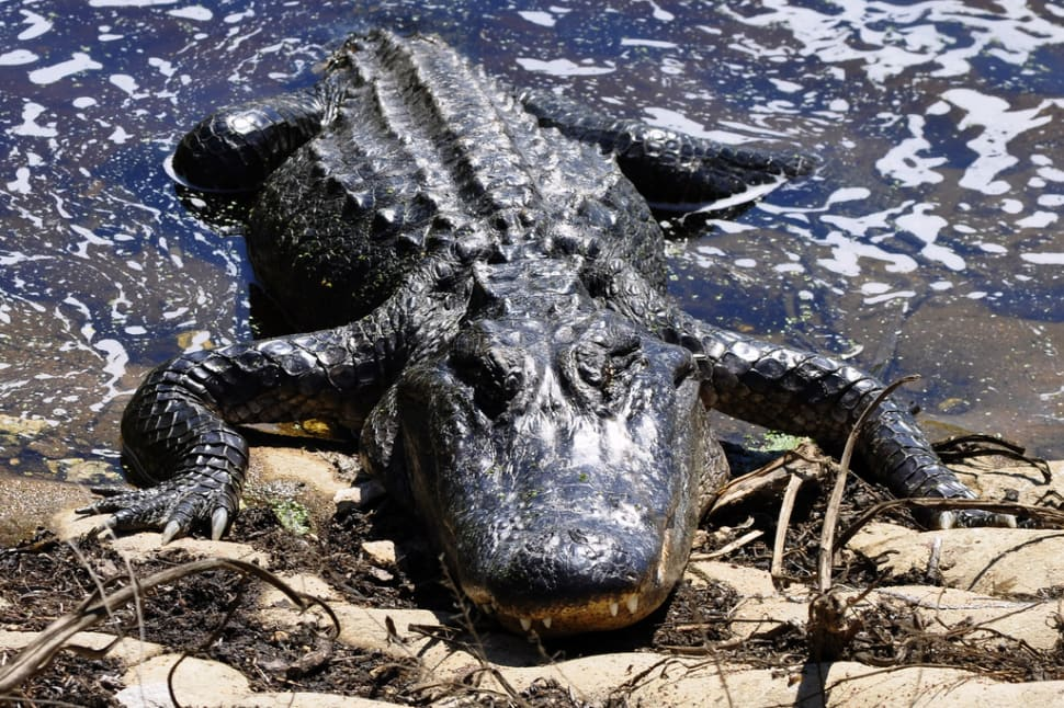 Alligator at Brazos Bend State Park
