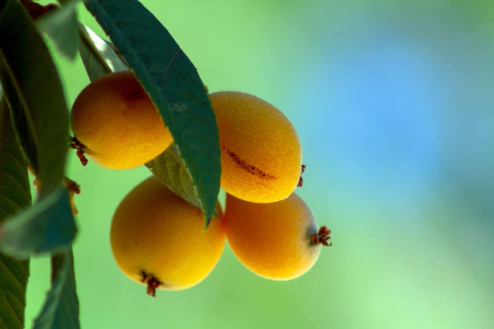 Loquat Season in Los Angeles - Best Season