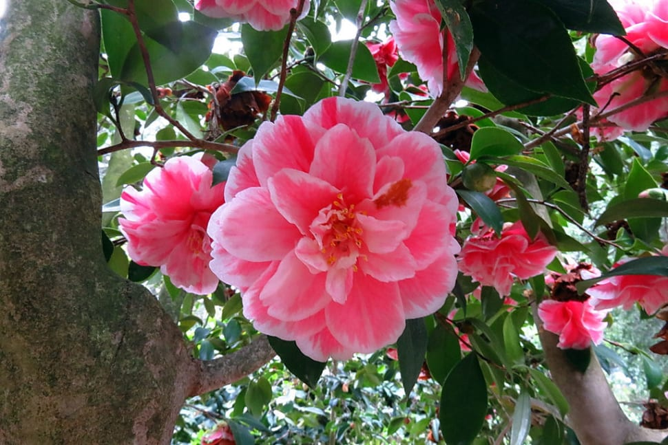 Camellias at Descanso Gardens in Los Angeles - Best Time