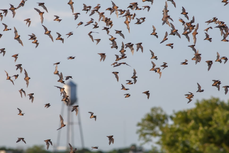 Mexican Free-Tailed Bats in Round Rock