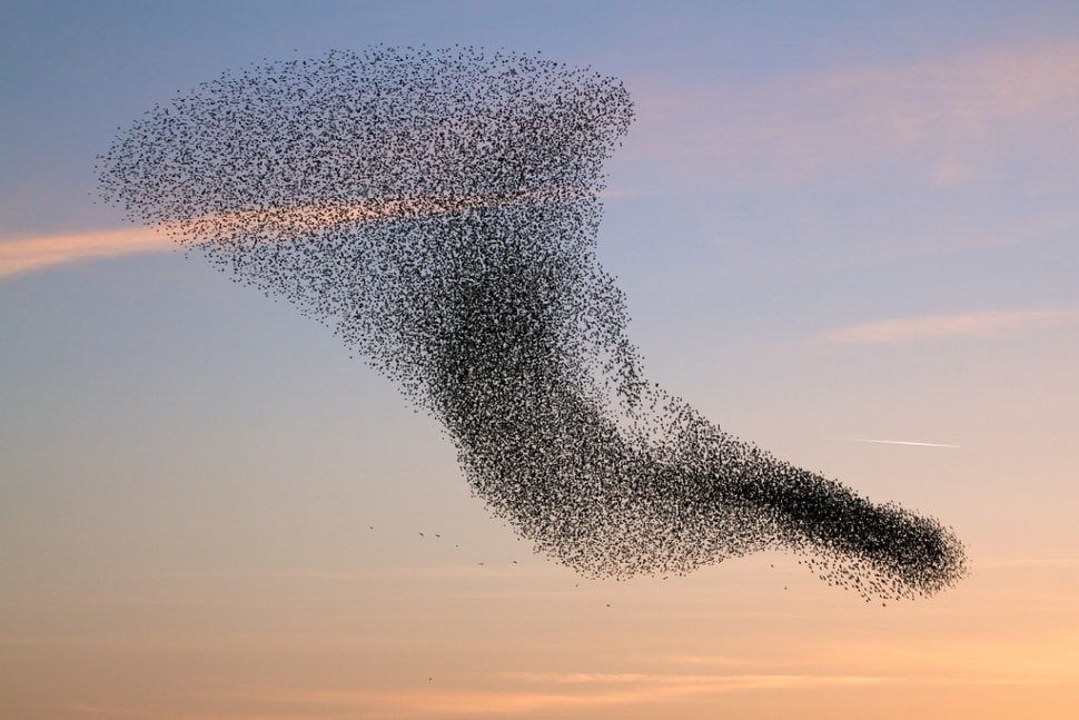 Things to do in Wales : Starling Murmuration