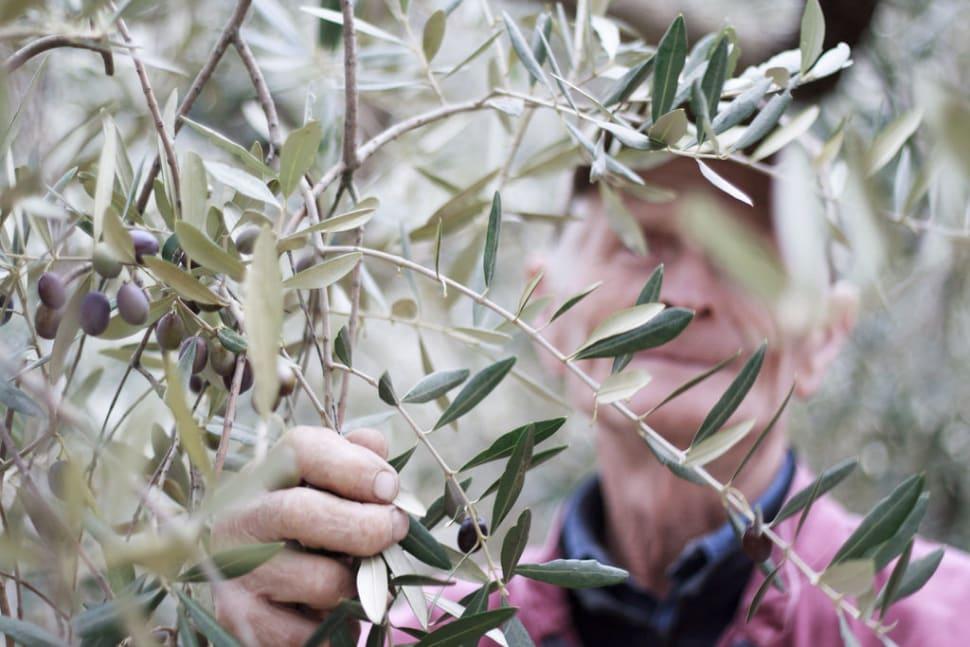 Olive Harvest in Tuscany - Best Season