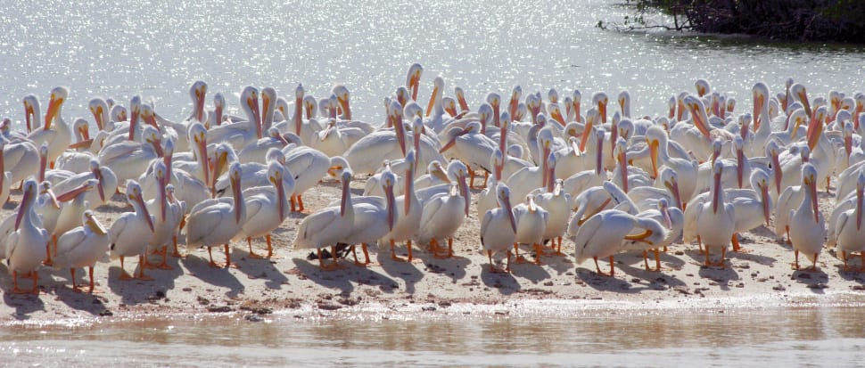 White Pelicans in Everglades National Wildlife Refuge