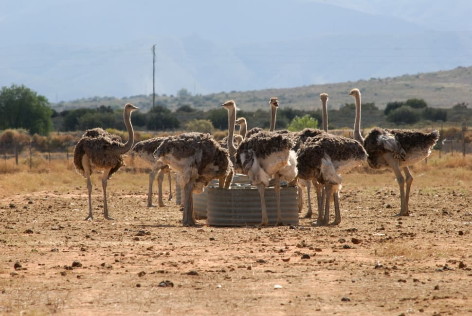 Best time to see Oudtshoorn Ostriches