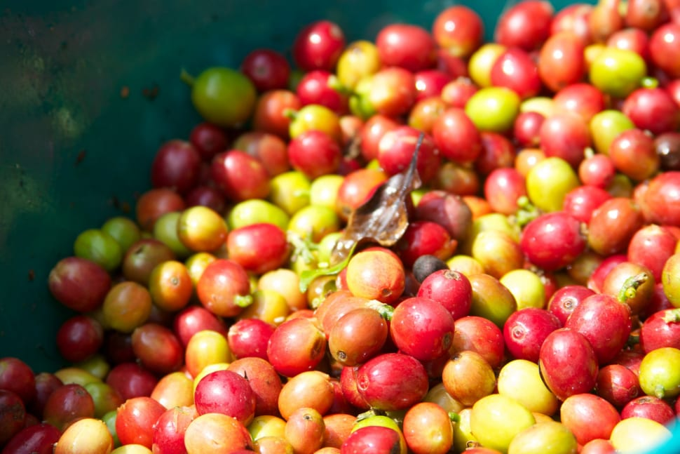 Coffee Harvest in Colombia - Best Time