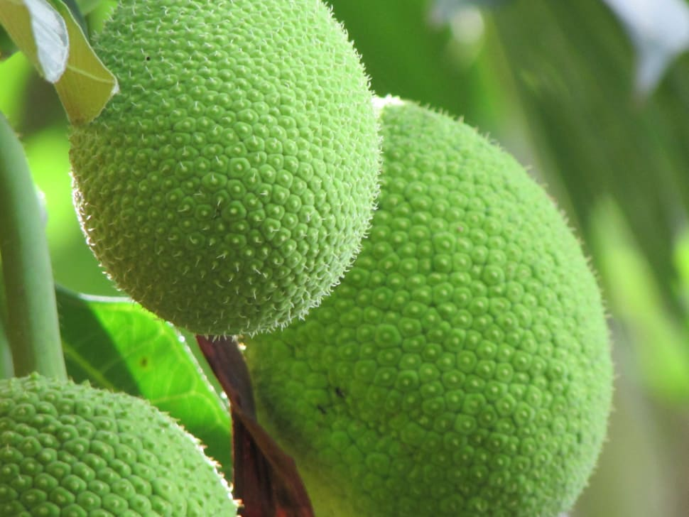Breadfruit Season in Mauritius - Best Time