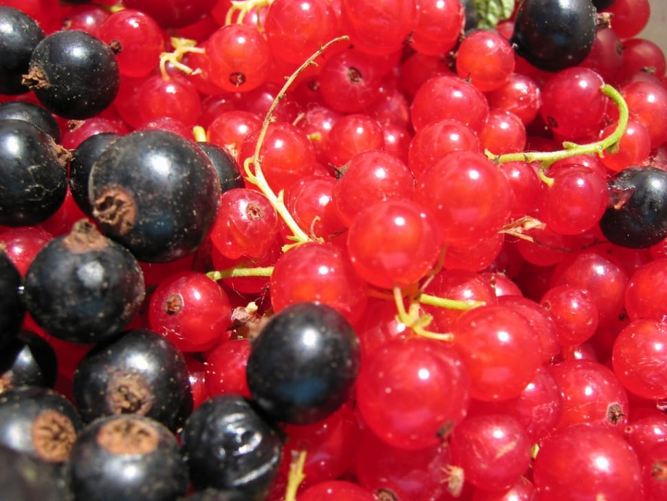 Red and Black Currants or Rips and Solbær in Norway - Best Time