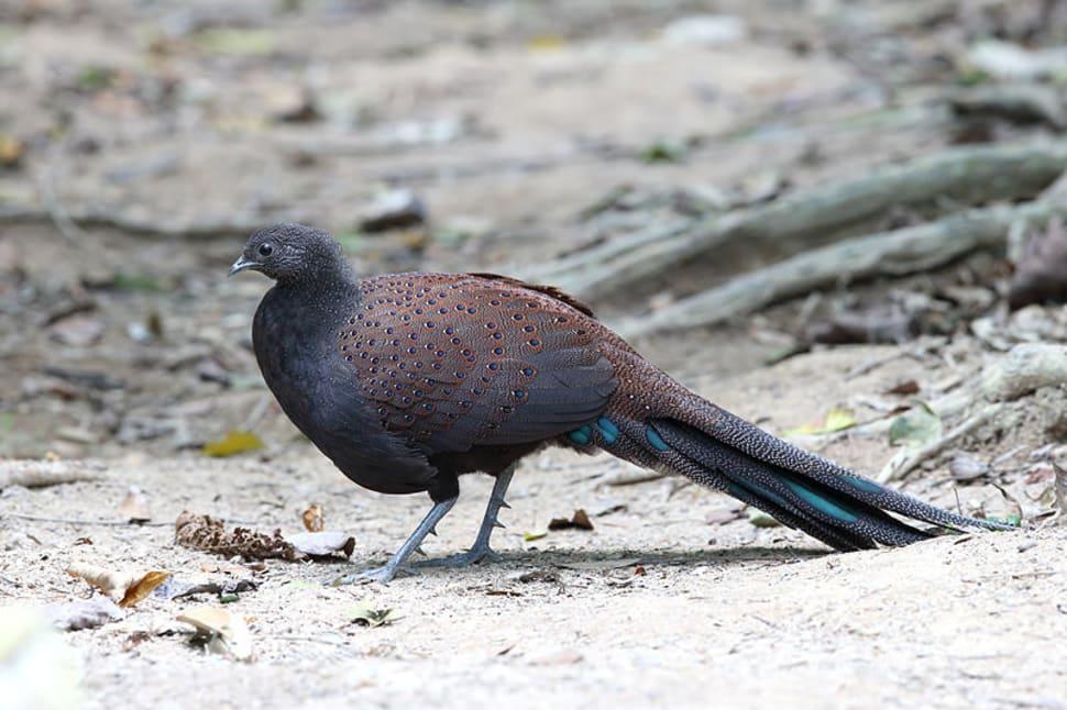 Malayan peacock-pheasants