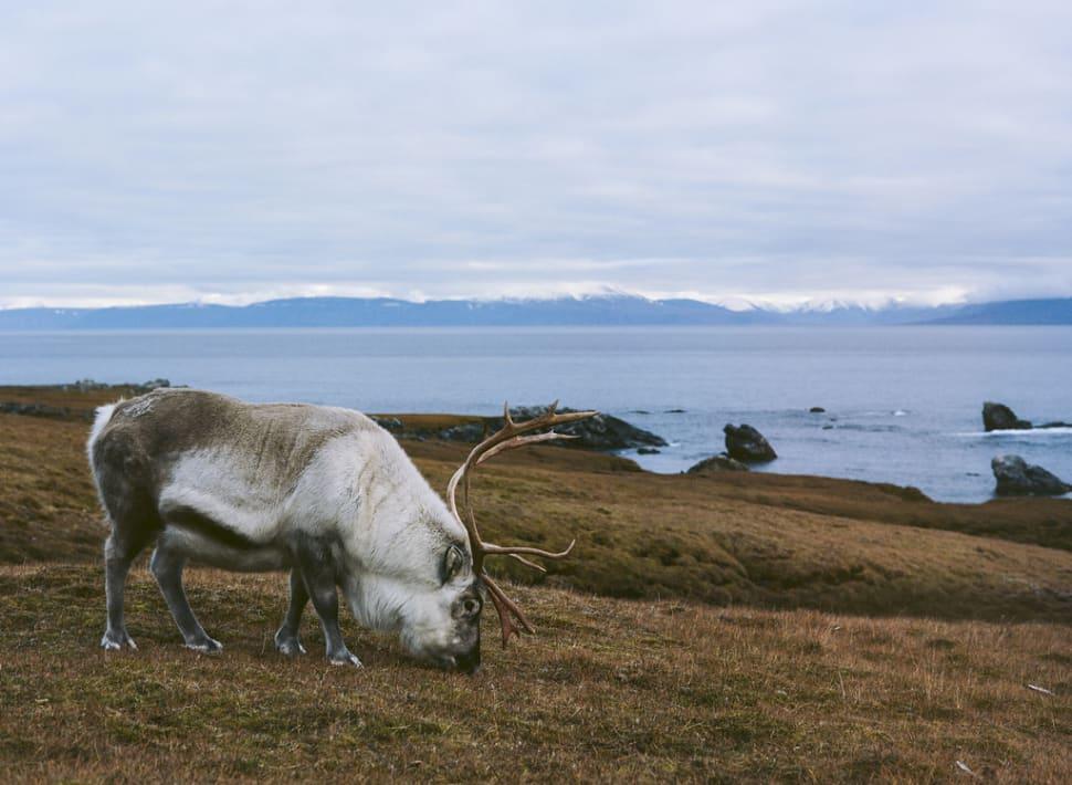 Reindeer in Svalbard - Best Season