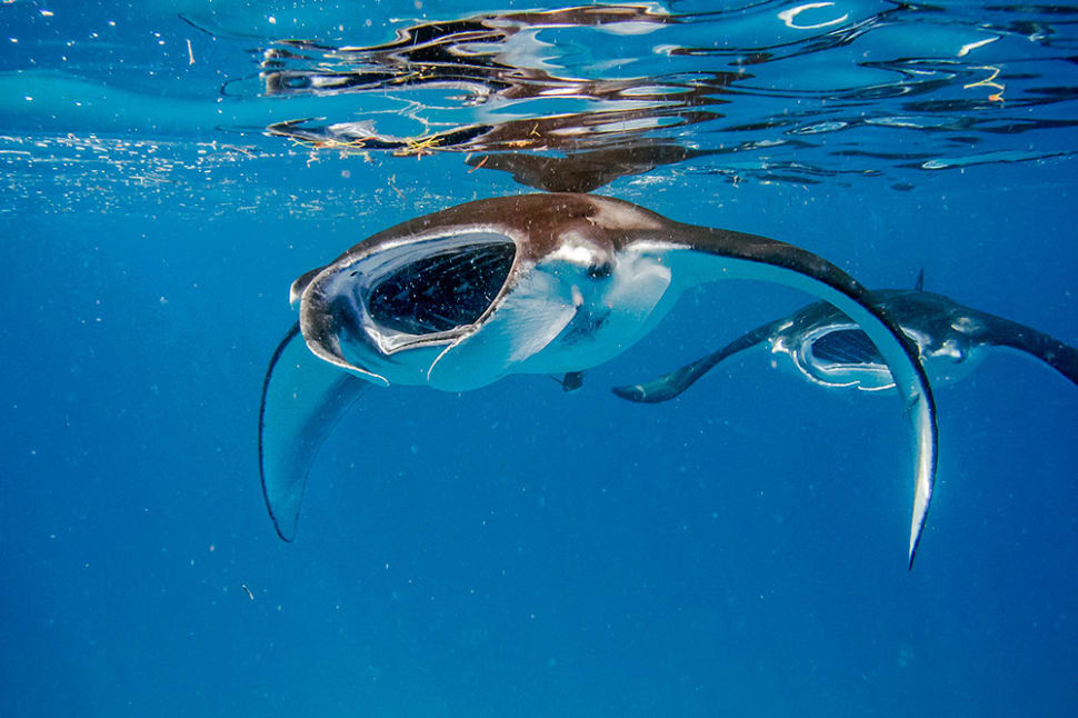 Best time for Manta Rays in Baa Atoll in Maldives