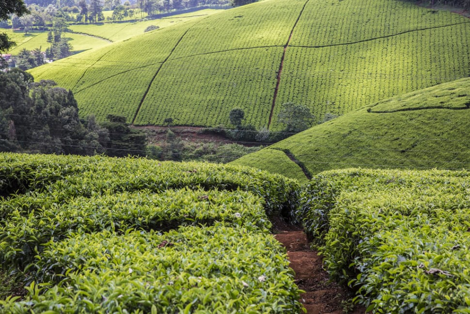 Tea Growing Season in Kenya - Best Season