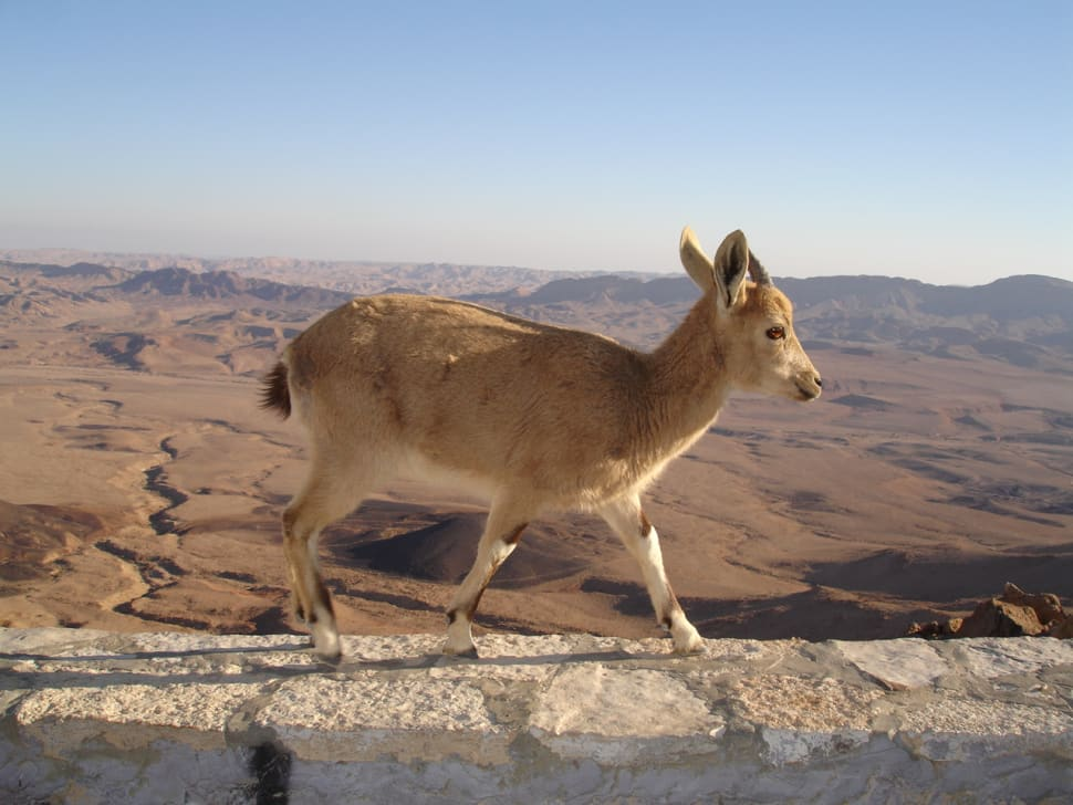 Nubian Ibex Baby Mountain Goats in Israel - Best Time