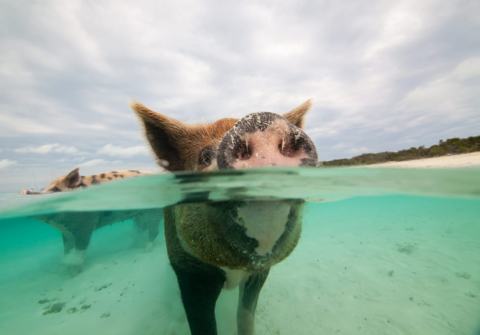 Swimming Pigs in Bahamas - Best Time