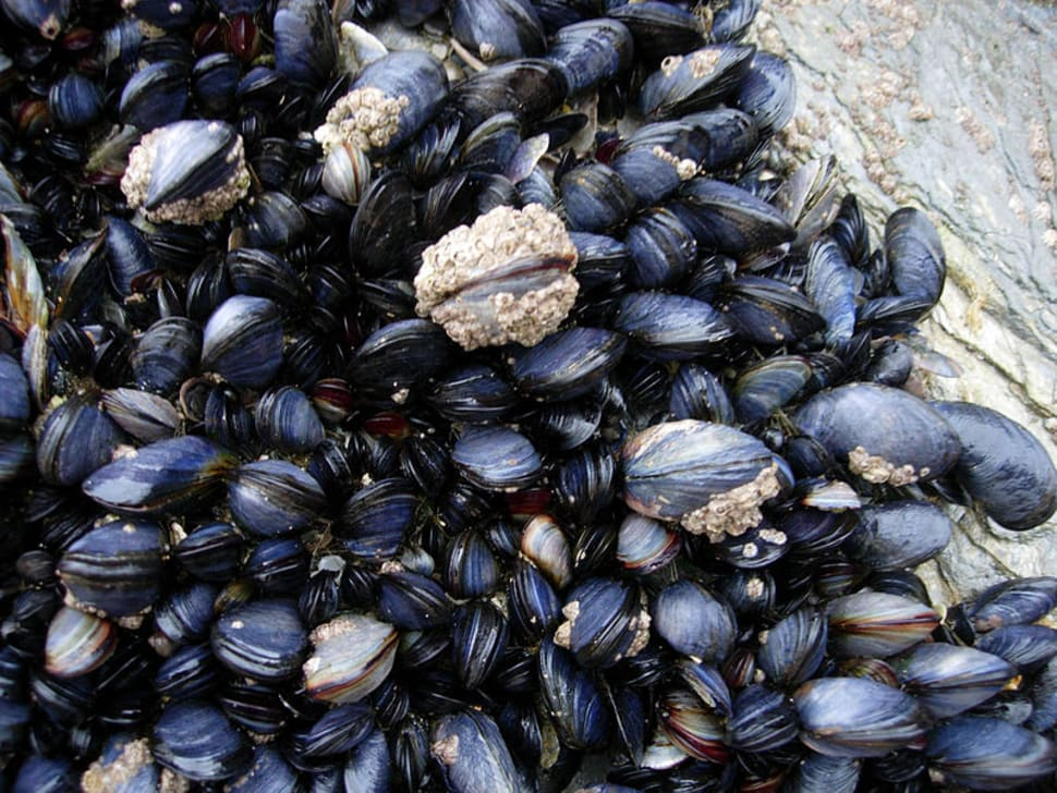 Mussels and barnacles in the intertidal near Newquay, Cornwall, England