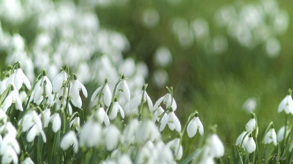 Snowdrops in Bloom in Wales - Best Time