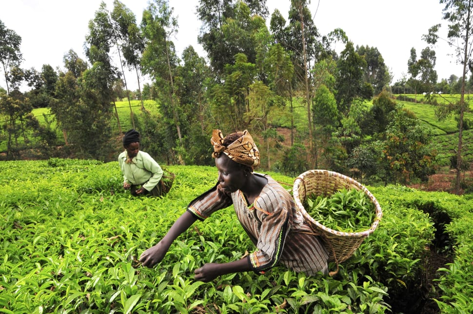 Tea Growing Season in Kenya - Best Time